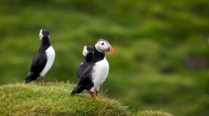 puffin iceland april
