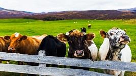 Cows-1424x800